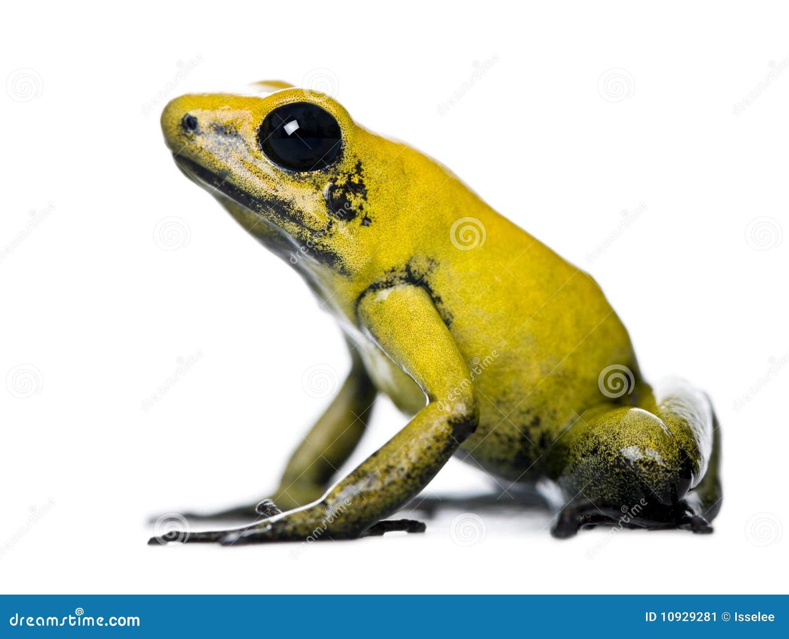 Golden Poison Frog against white background