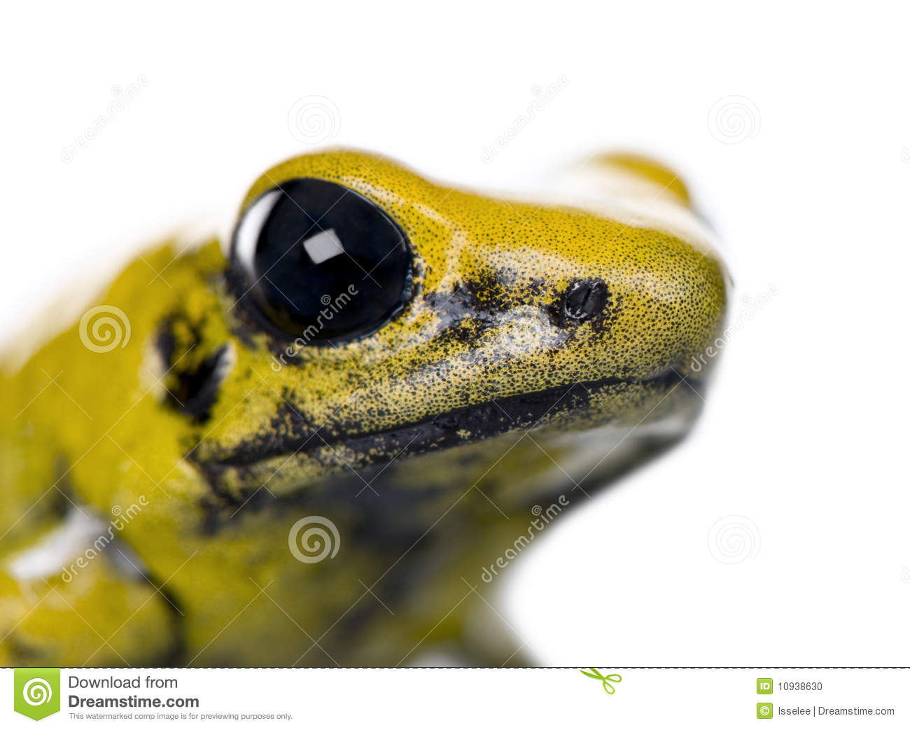 Golden Poison Frog in front of a white background