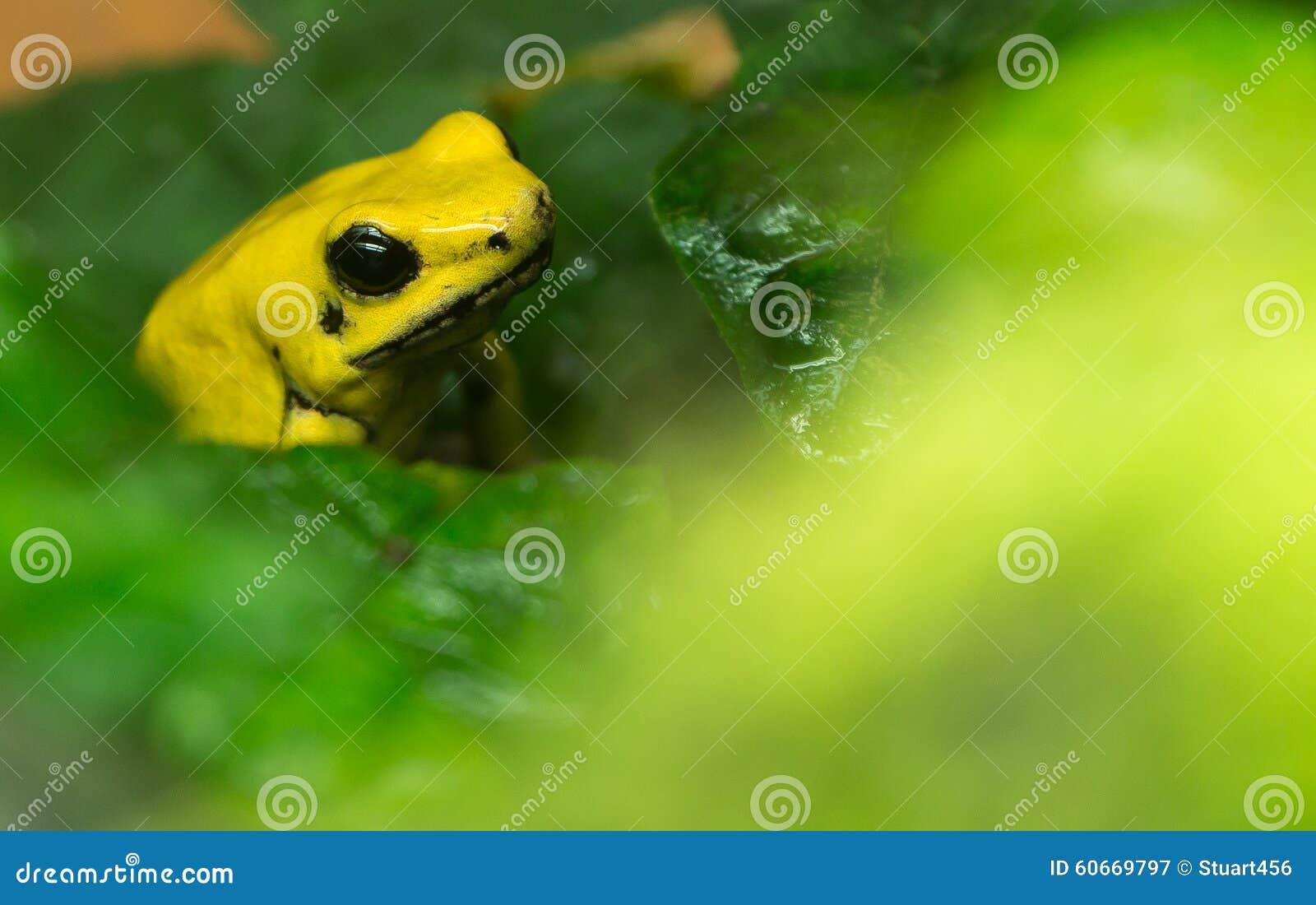 Golden Poison Frog (Phyllobates terribilis), National Zoo, Washington DC.