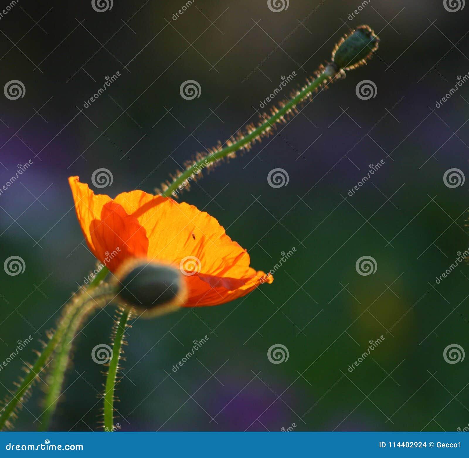Golden poppy in the sun