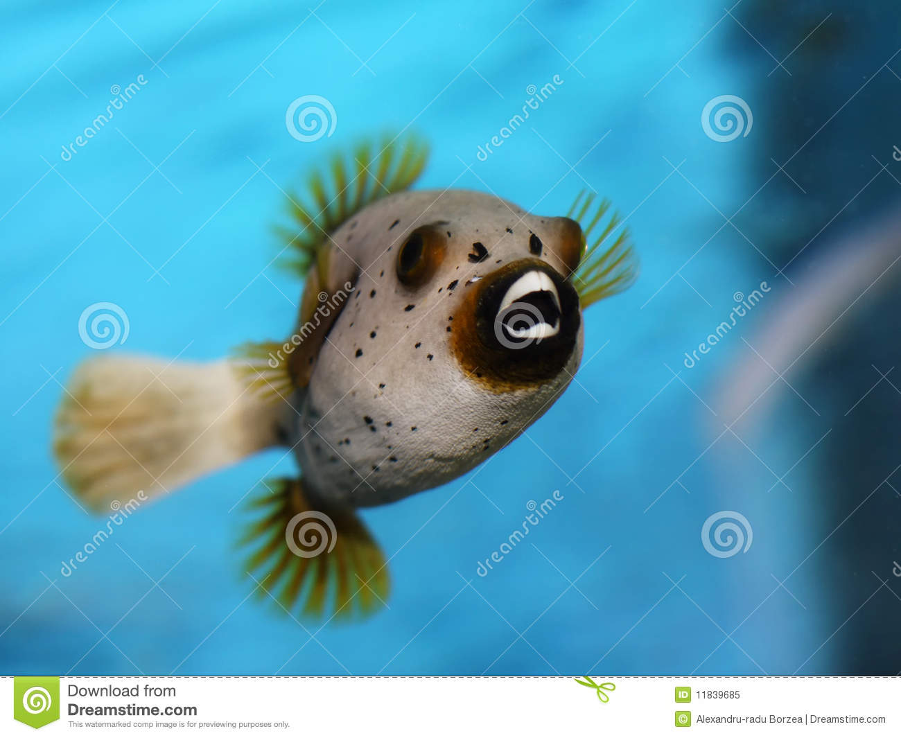 Golden puffer fish stock image image of yellow teeth for Puffer fish price