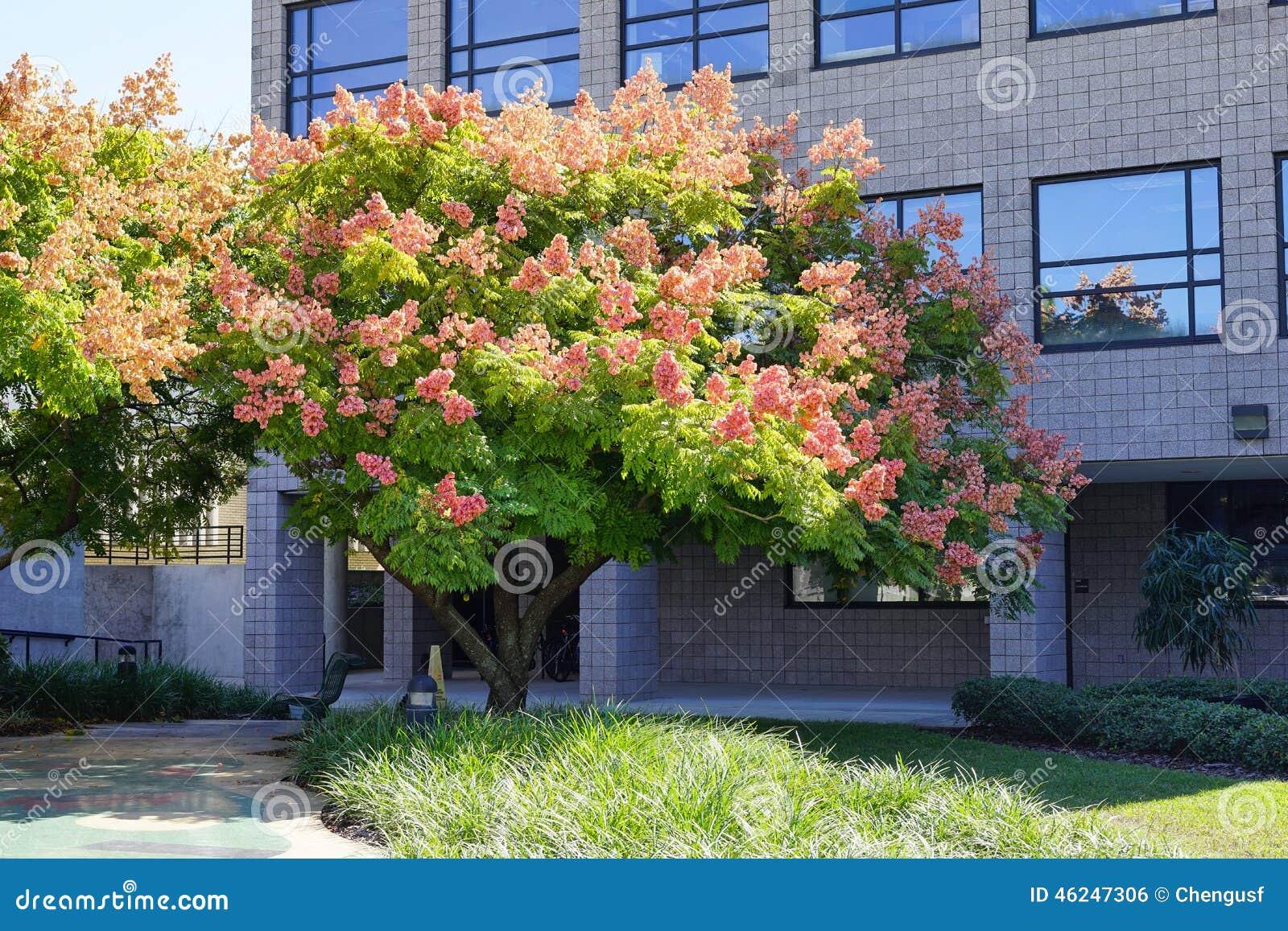 Golden Rain Tree Stock Illustration Image 45099269