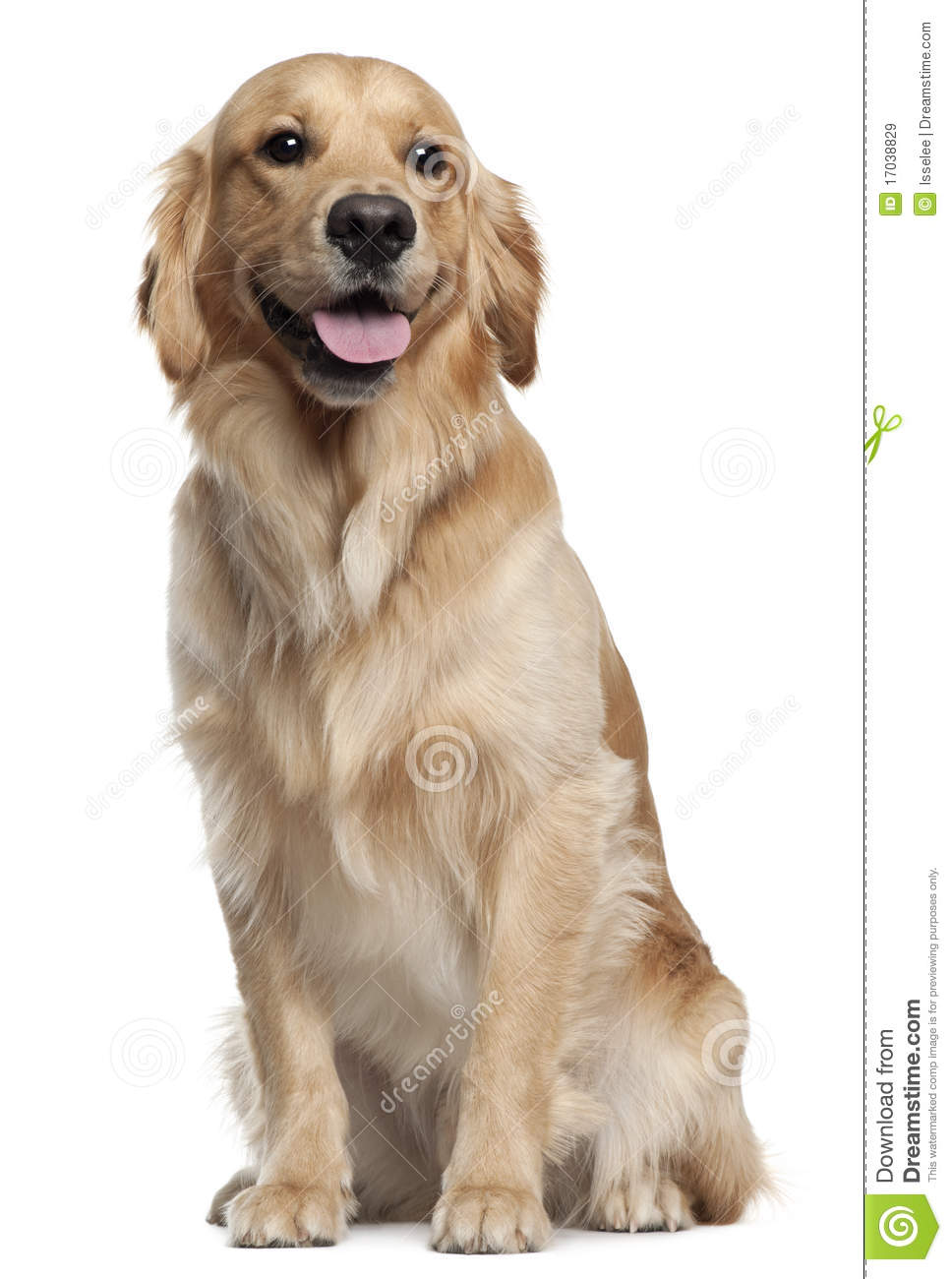 Golden Retriever 1 And A Half Years Old Stock Image Image Of