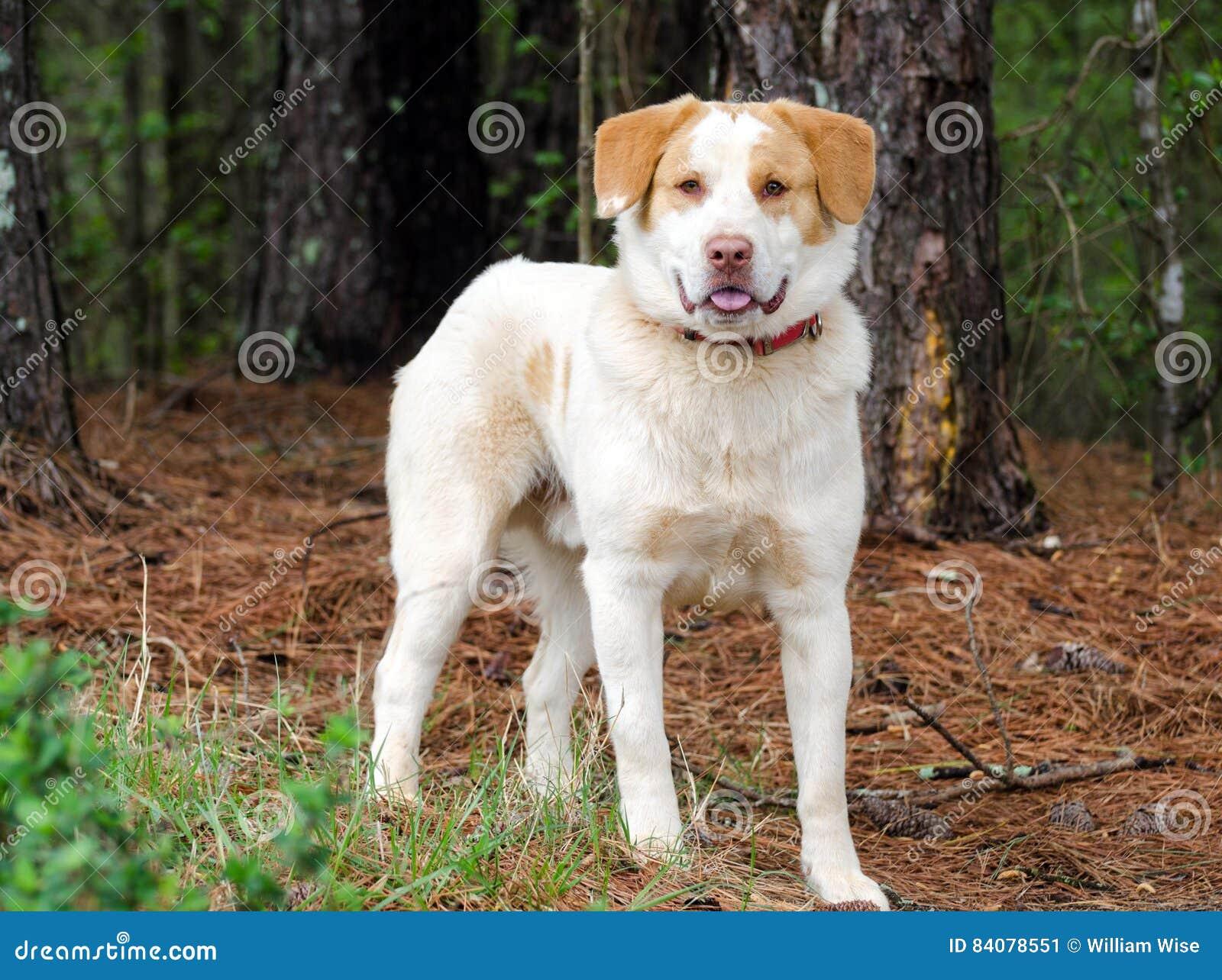 Golden Retriever Anatolischer Schäfer Mixed Breed Dog Stockbild