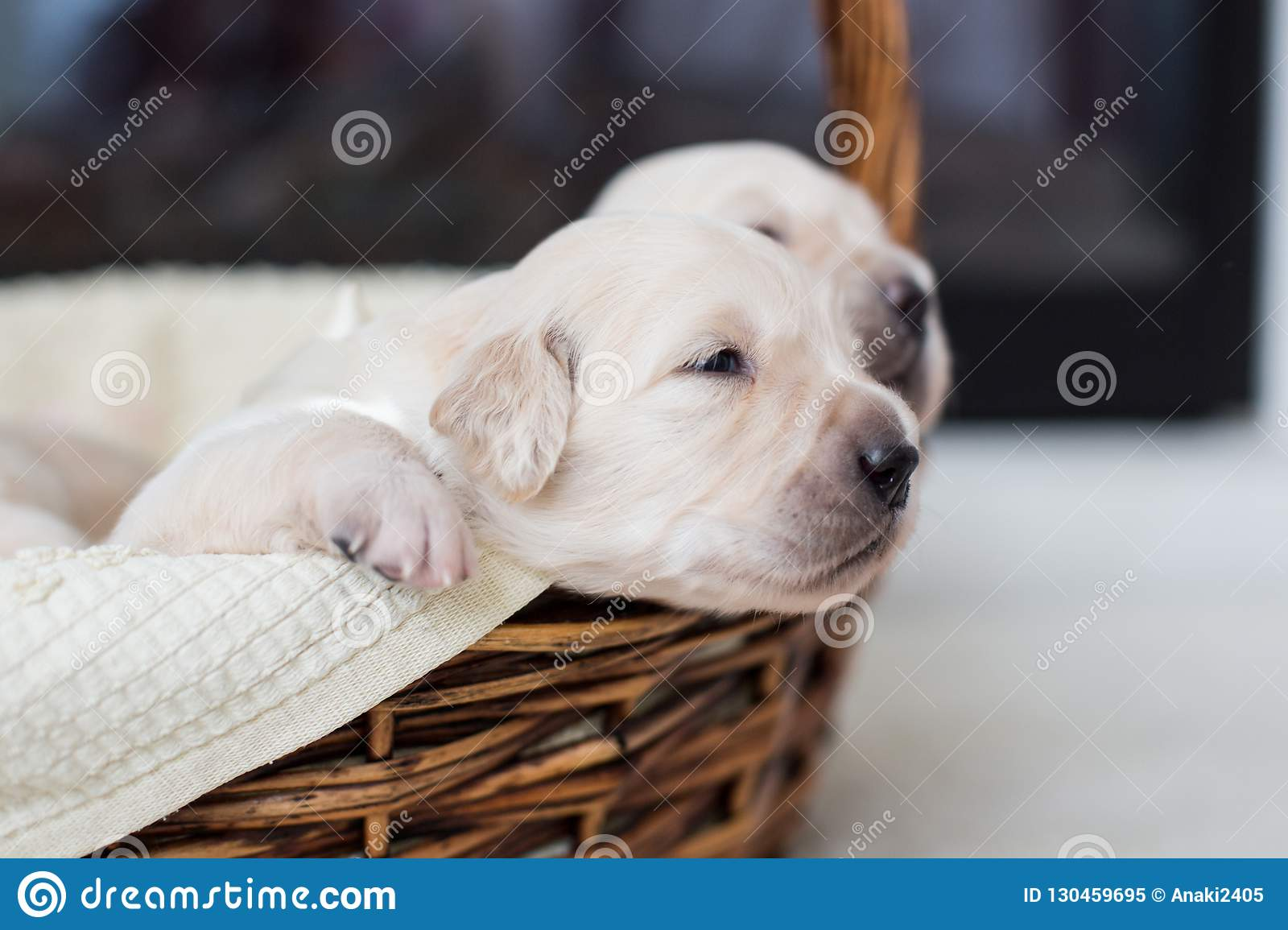 Golden retriever baby boy with white ribbon is trying to escape from the basket