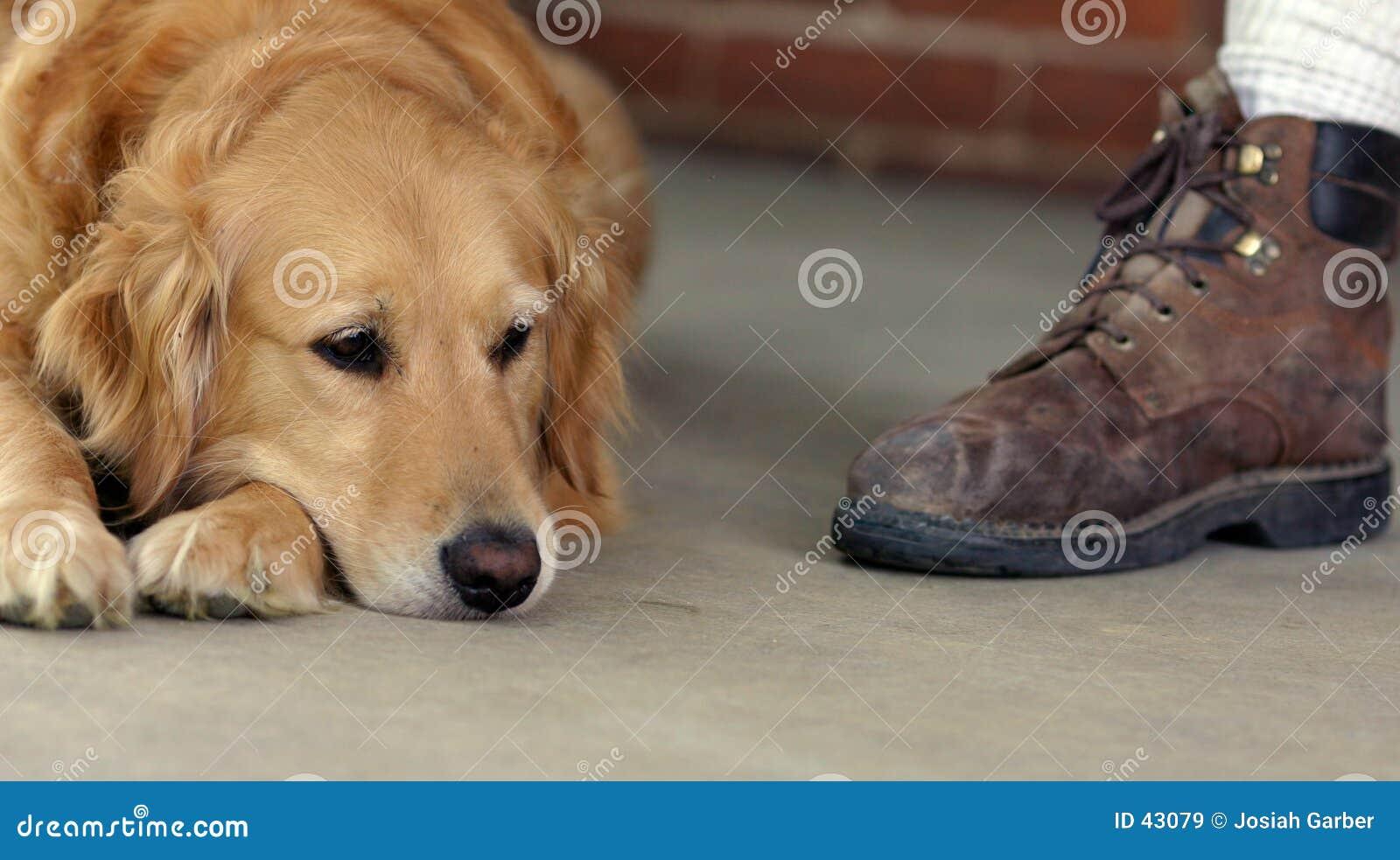 Golden Retriever and Boot