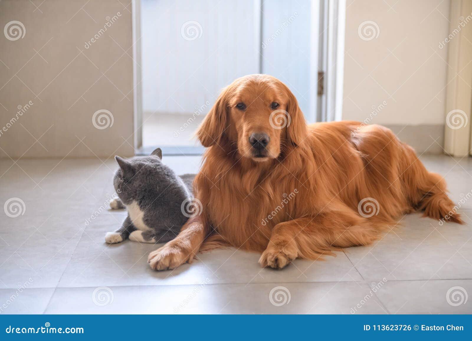 Golden Retriever And British Short Hair Cat Stock Photo Image Of Catindoor Hair 113623726