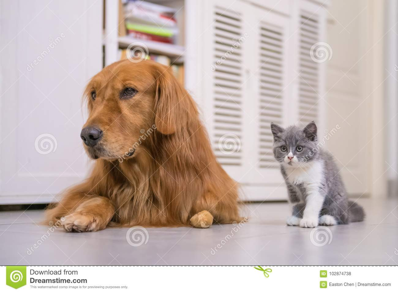 Golden Retriever And British Shorthair Cat Stock Photo - Image of
