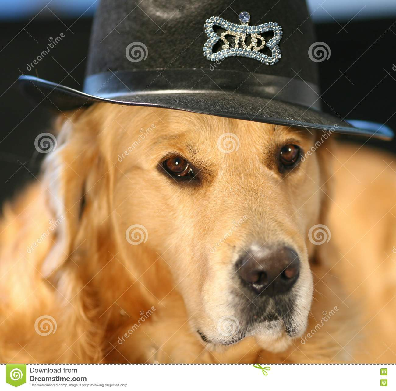 golden retriever in costume hat stock photo - image of halloween