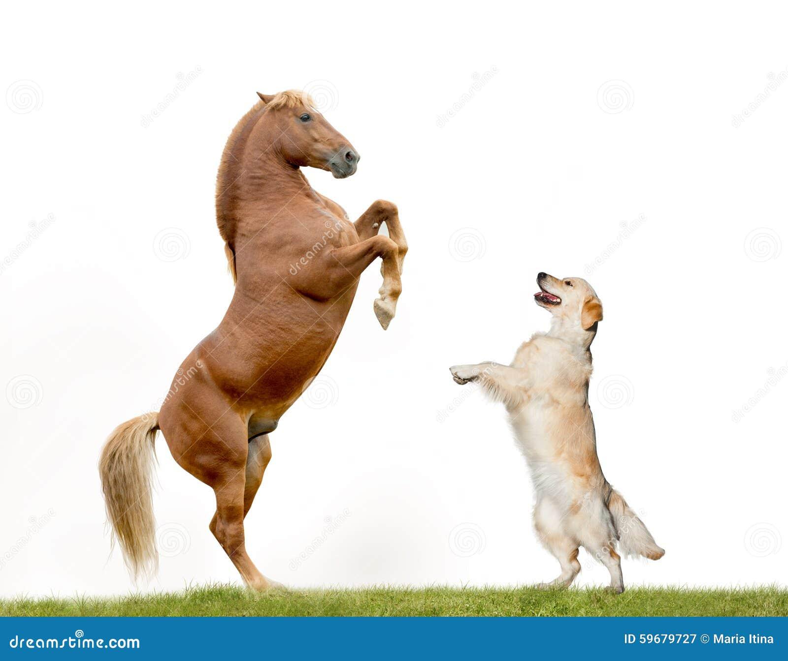 Golden retriever das mit pferd tanzt stockfoto bild for Internotes r web retriever