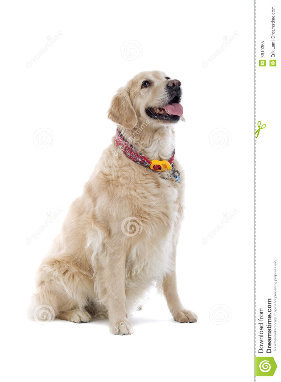 dogs similar to golden retriever golden retriever dog royalty free stock photo image 6910355 9230