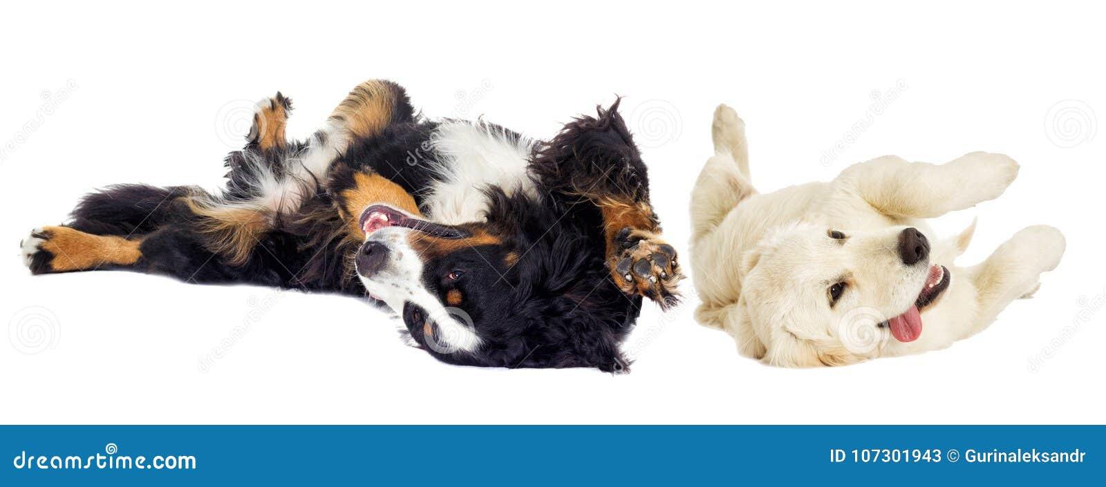 Golden retriever dog and the Bernese Mountain Dog