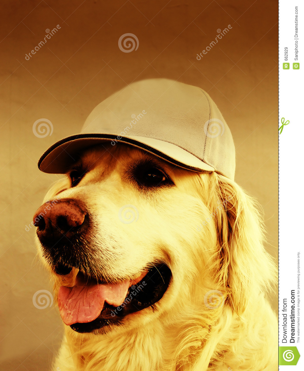 Golden Retriever Dog With Cap Stock Image Image Of