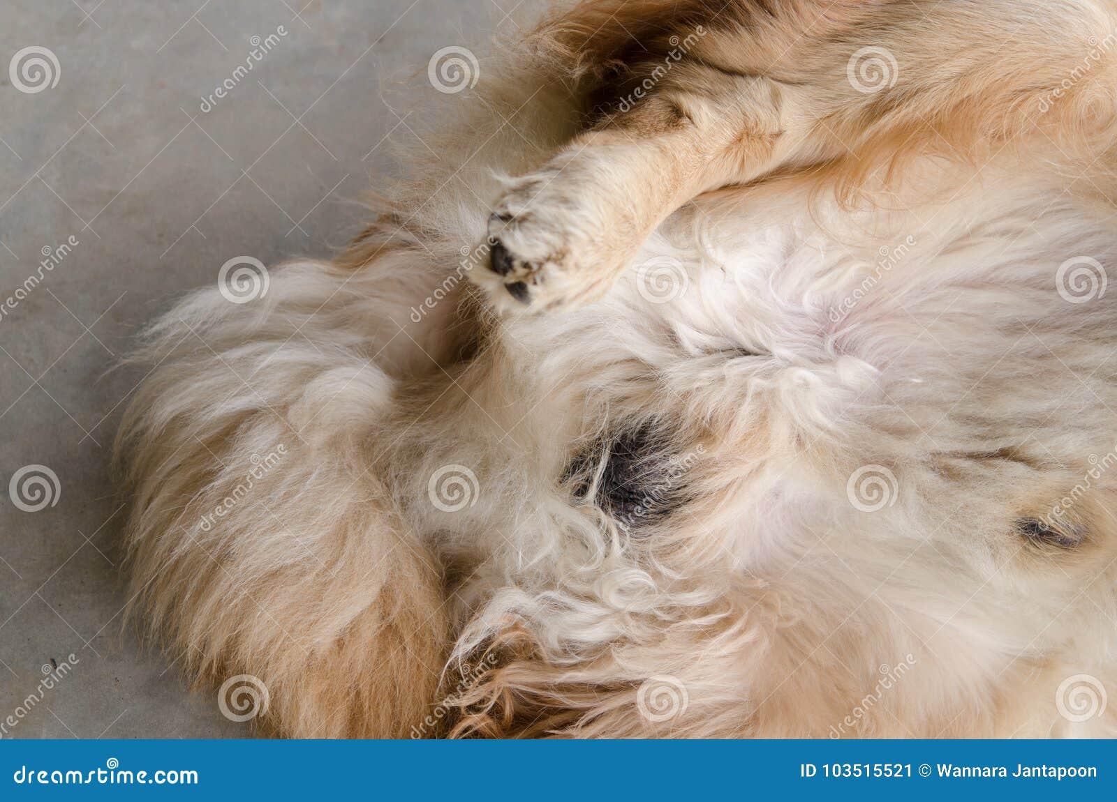 Golden Retriever Dog Stock Image Image Of Golden Cute 103515521