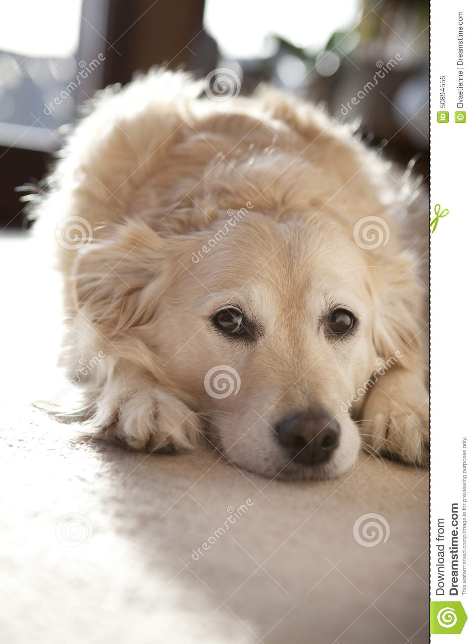 Golden Retriever Dog Lying Down In Home Environment Stock Photo