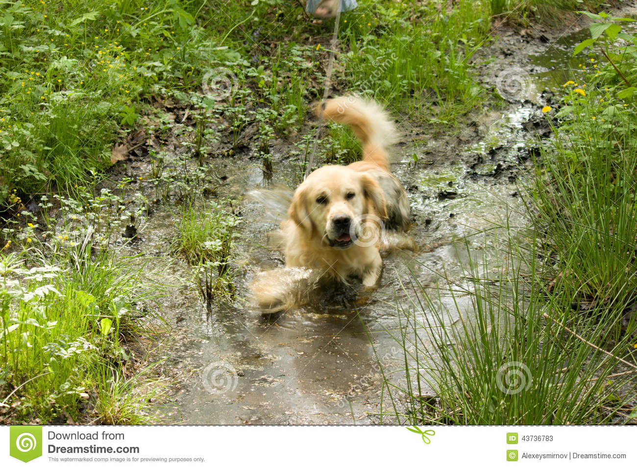 Golden retriever dog in muddy puddle