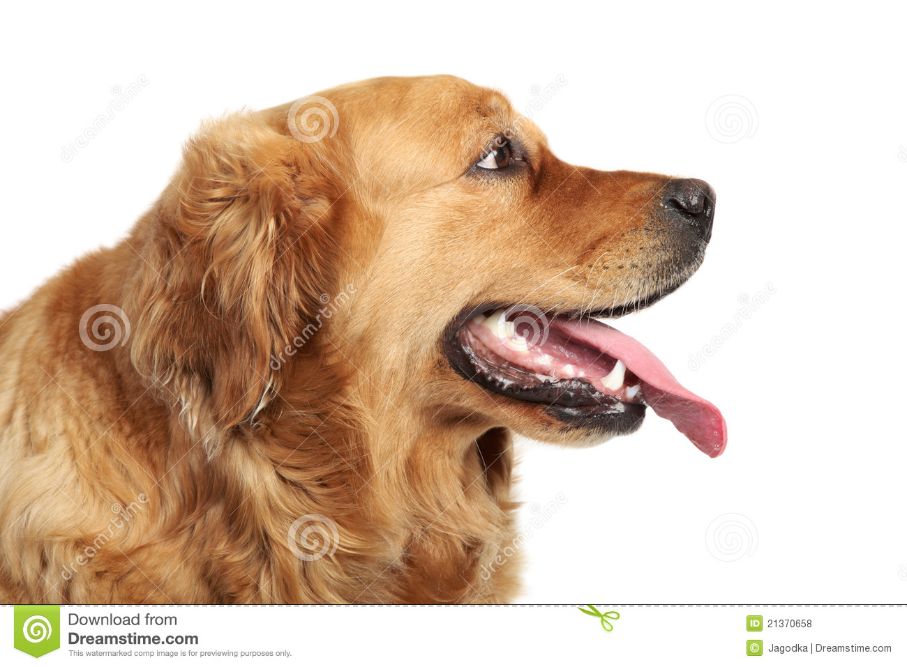 golden retriever dog portrait side view stock photo image 21370658. Black Bedroom Furniture Sets. Home Design Ideas