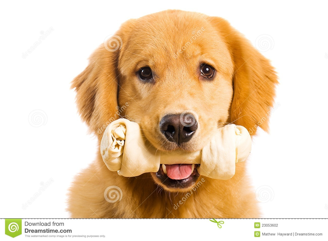 Golden Retriever Dog With A Rawhide Chew Bone Stock Photography ...
