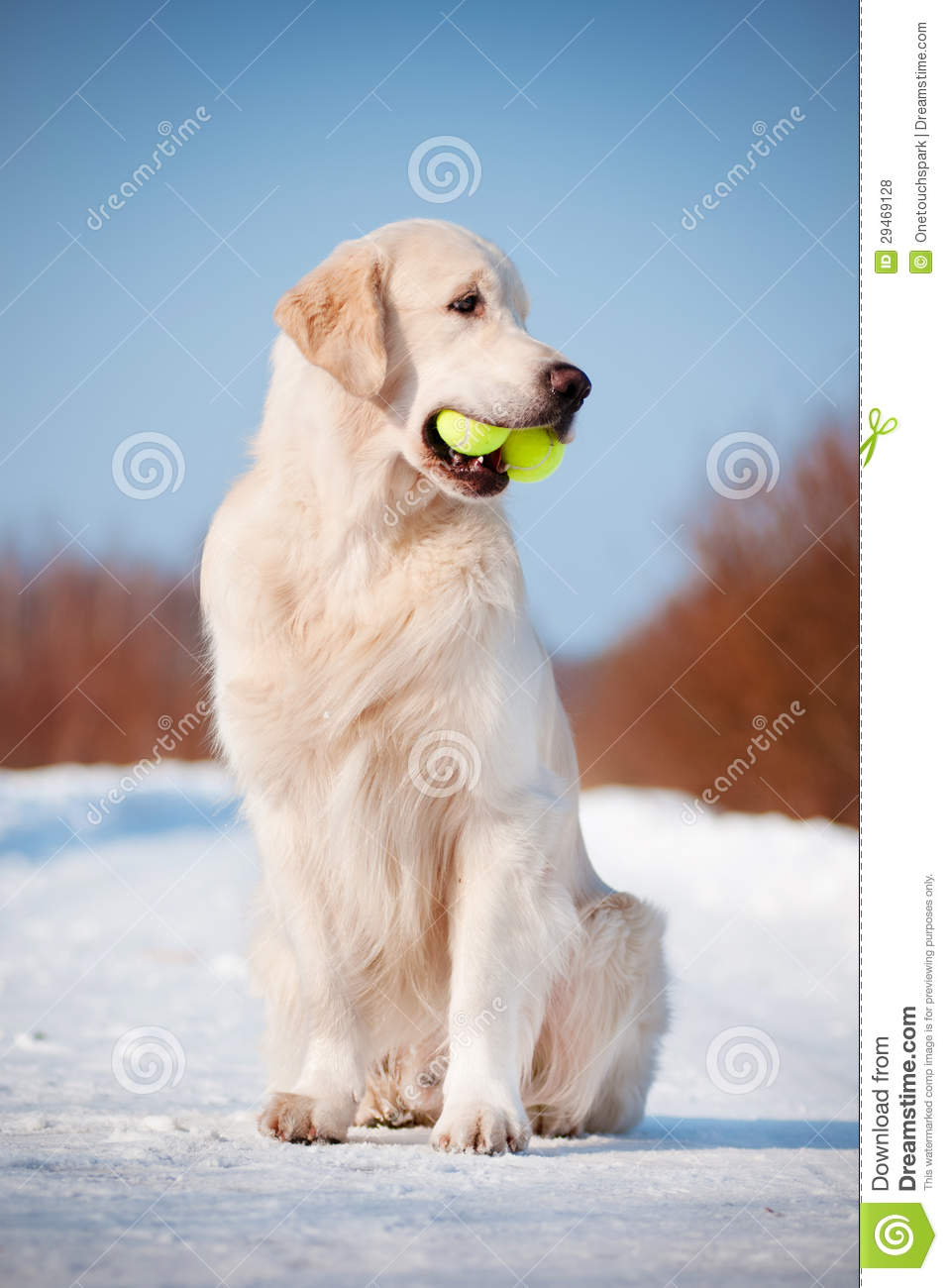 Golden Retriever Dog With A Tennis Ball In His Mouth Stock