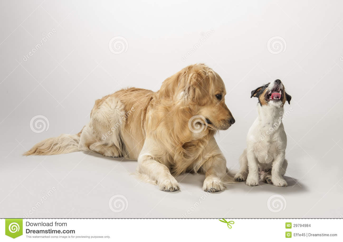 Golden retriever e filhote de cachorro do terrier de russell do jaque