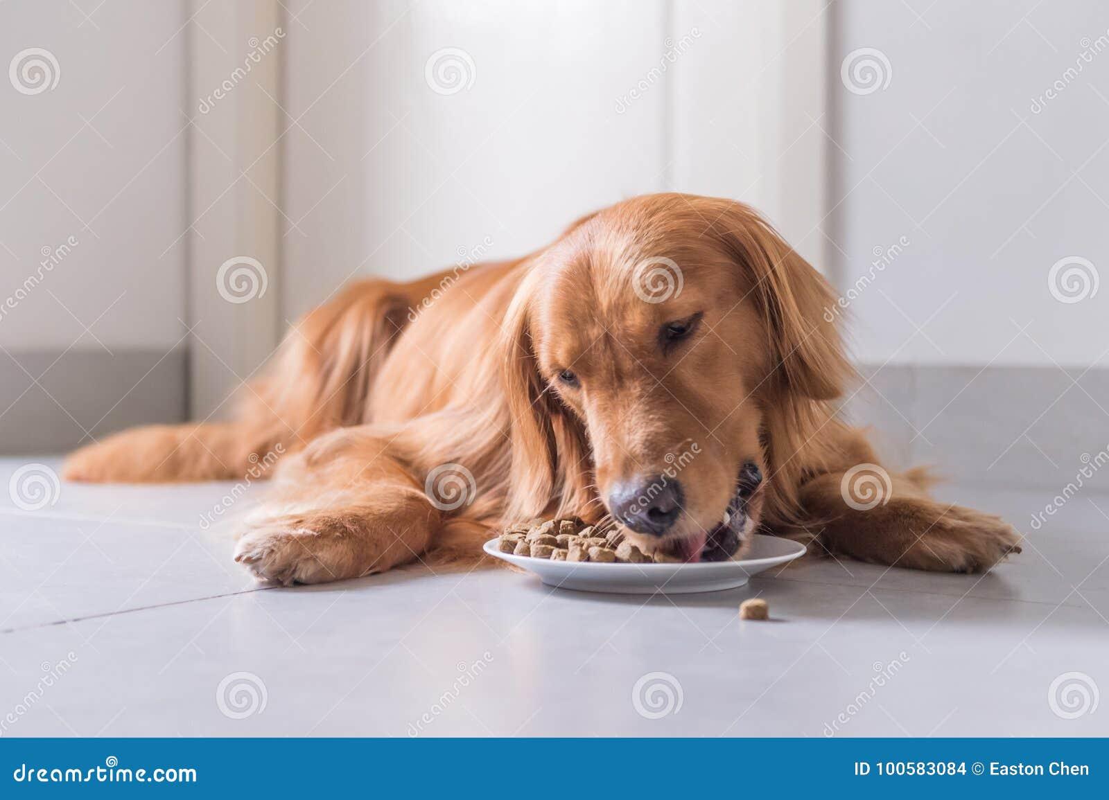 Golden retriever, endecha en el piso para comer la comida de perro
