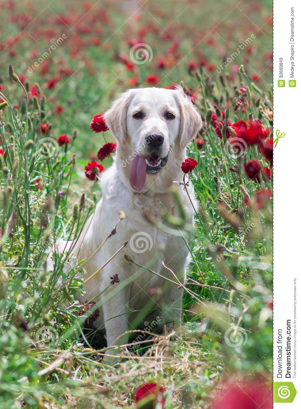 Golden Retriever In Field Stock Image Image Of Color 83669849