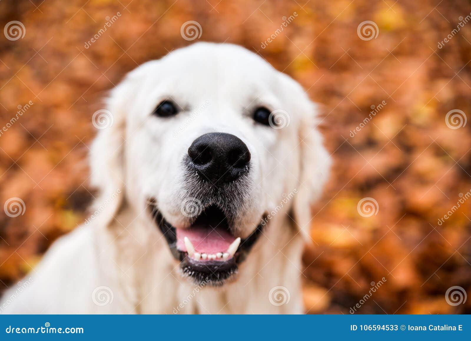 Golden Retriever S Nose Closeup Stock Image Image Of Loyal Mouth