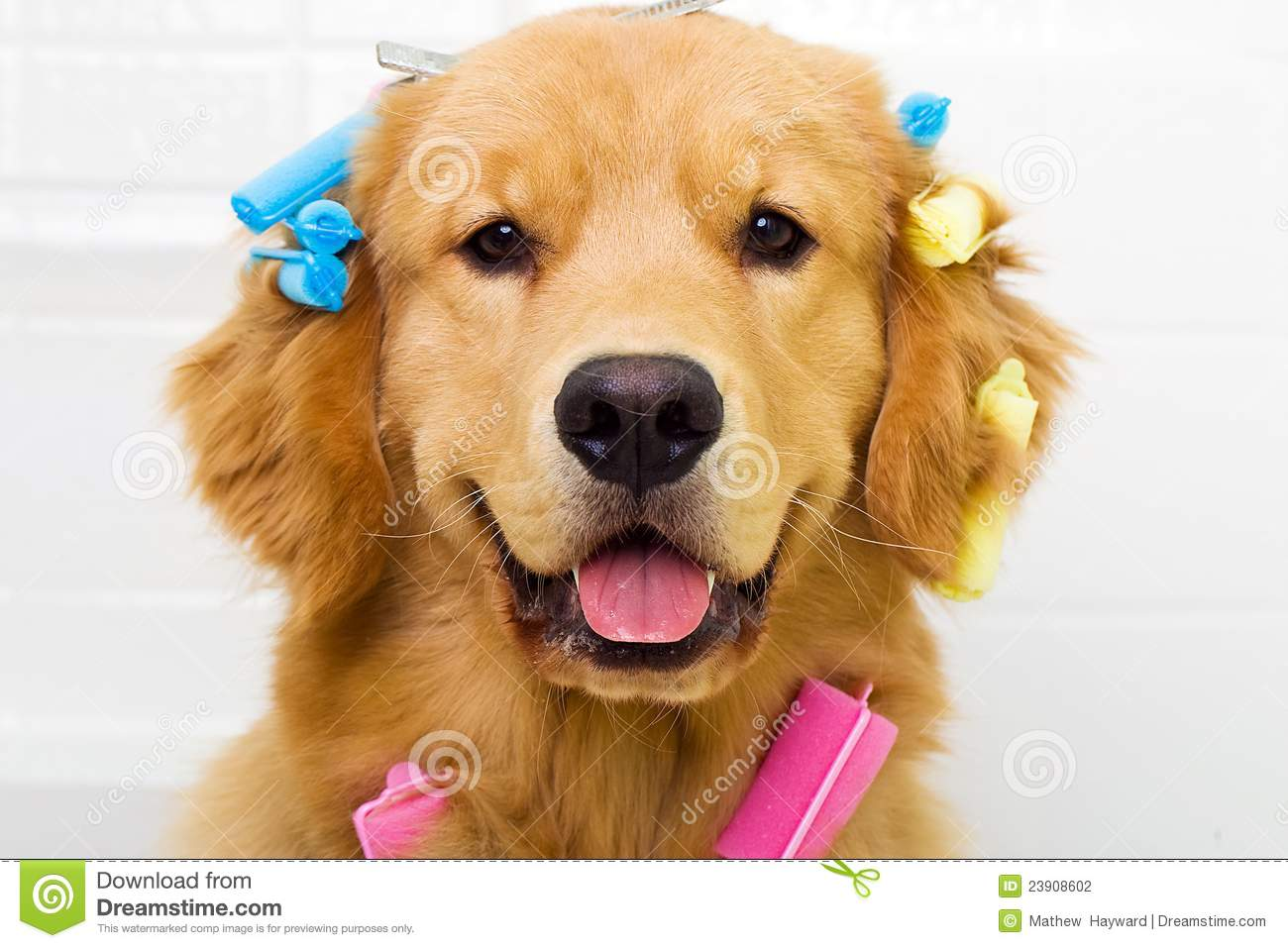 Golden Retriever Getting His Hair Done Stock Photography
