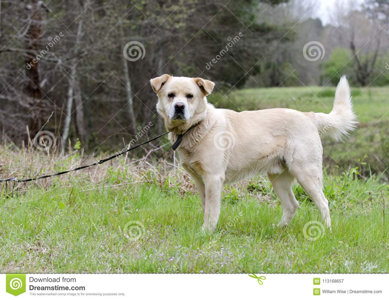 Golden Retriever Great Pyrenees Chow Mix Dog Stock Image Image Of