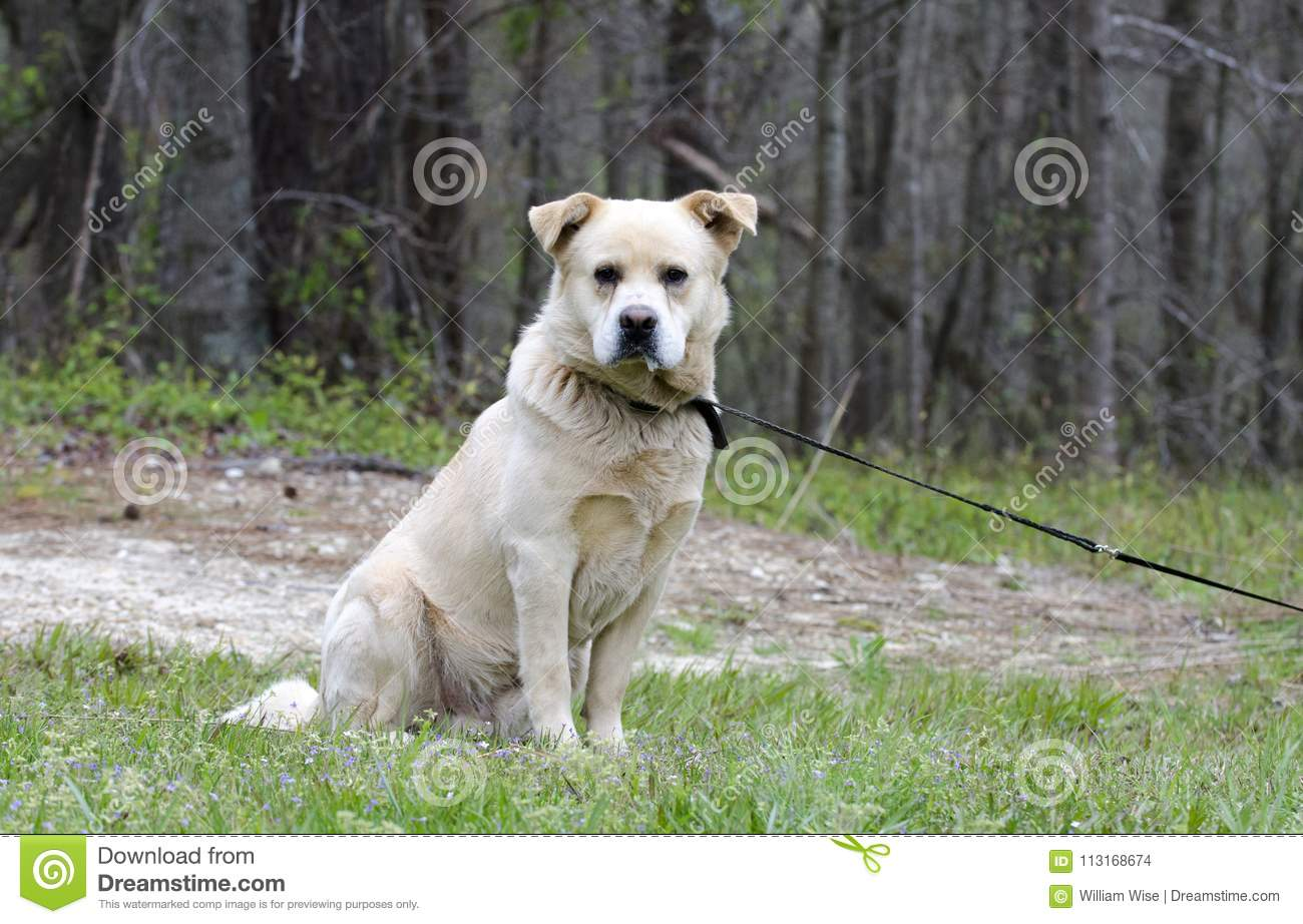 Golden Retriever Great Pyrenees Chow Mix Dog Stock Photo Image Of