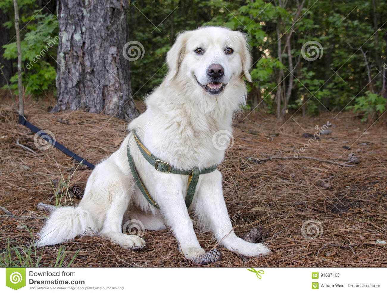 Golden Retriever Great Pyrenees Mixed Breed Dog Stock Image Image