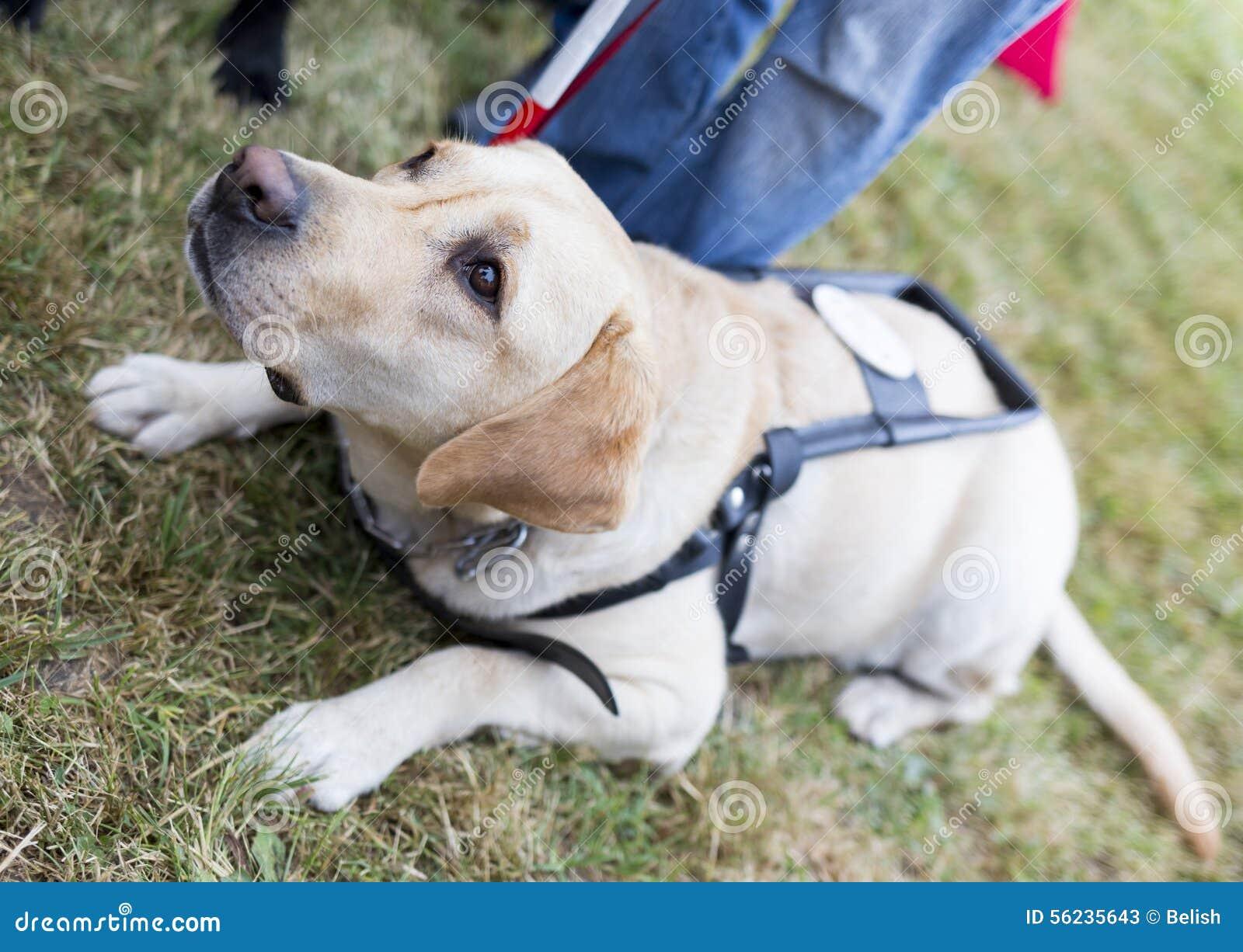 Labrador Dog Training Video Free Download