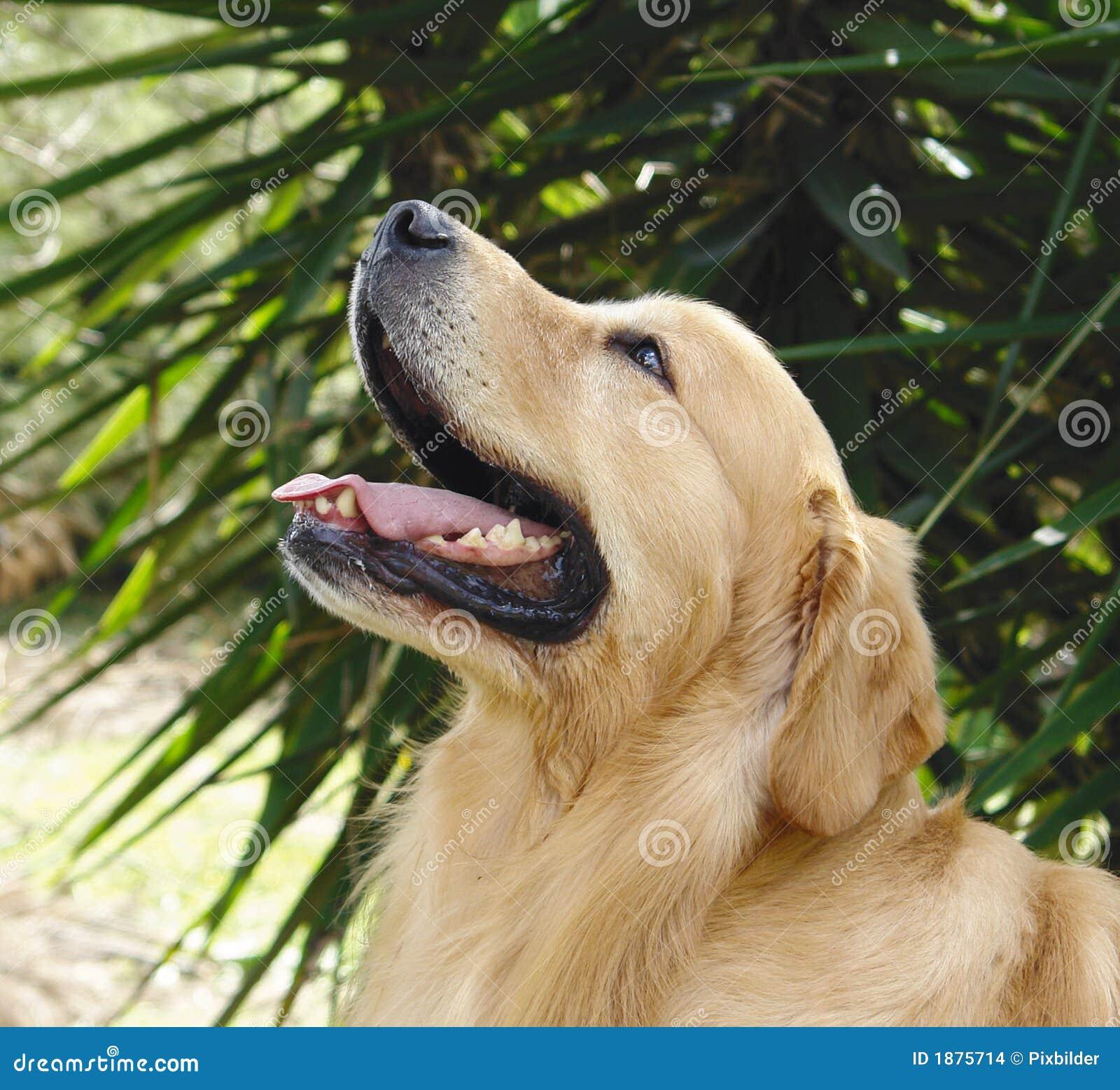 Golden Retriever Head Up Stock Images