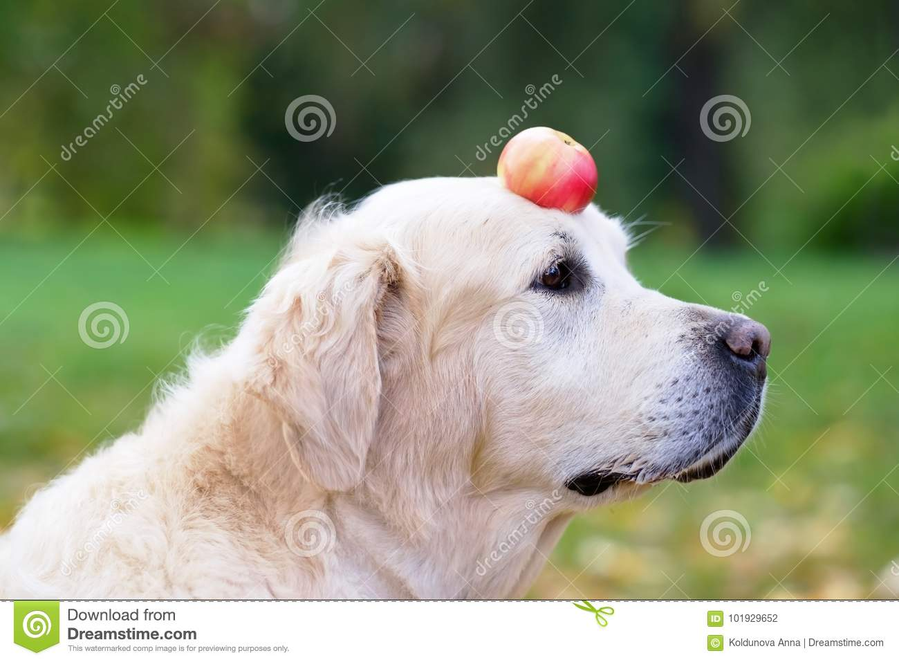 A Golden Retriever Is Holding An Apple On His Nose Stock Photo