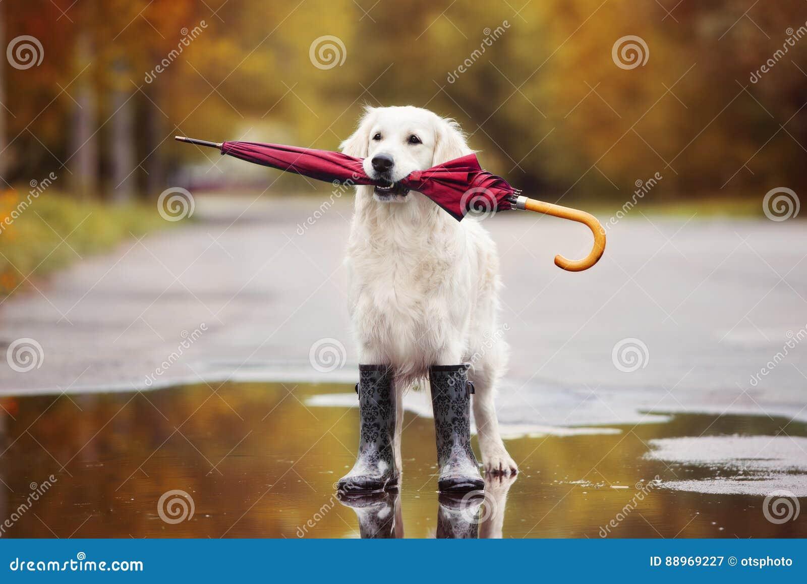 Golden Retriever Hund In Den Regenstiefeln Die Draußen Einen
