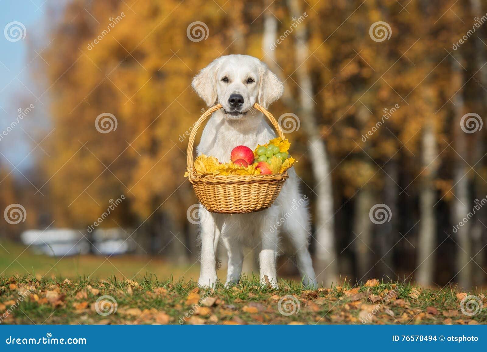 Golden Retriever Hund Der Draußen Einen Korb Im Herbst Hält