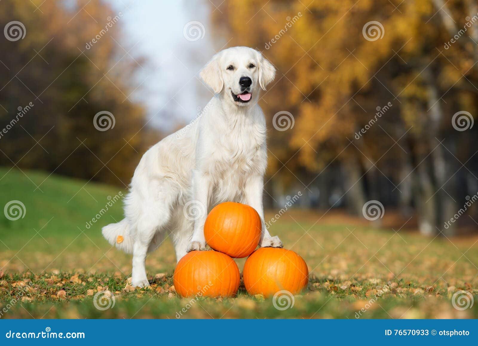 Golden retriever-Hund, der mit Kürbisen im Herbst aufwirft