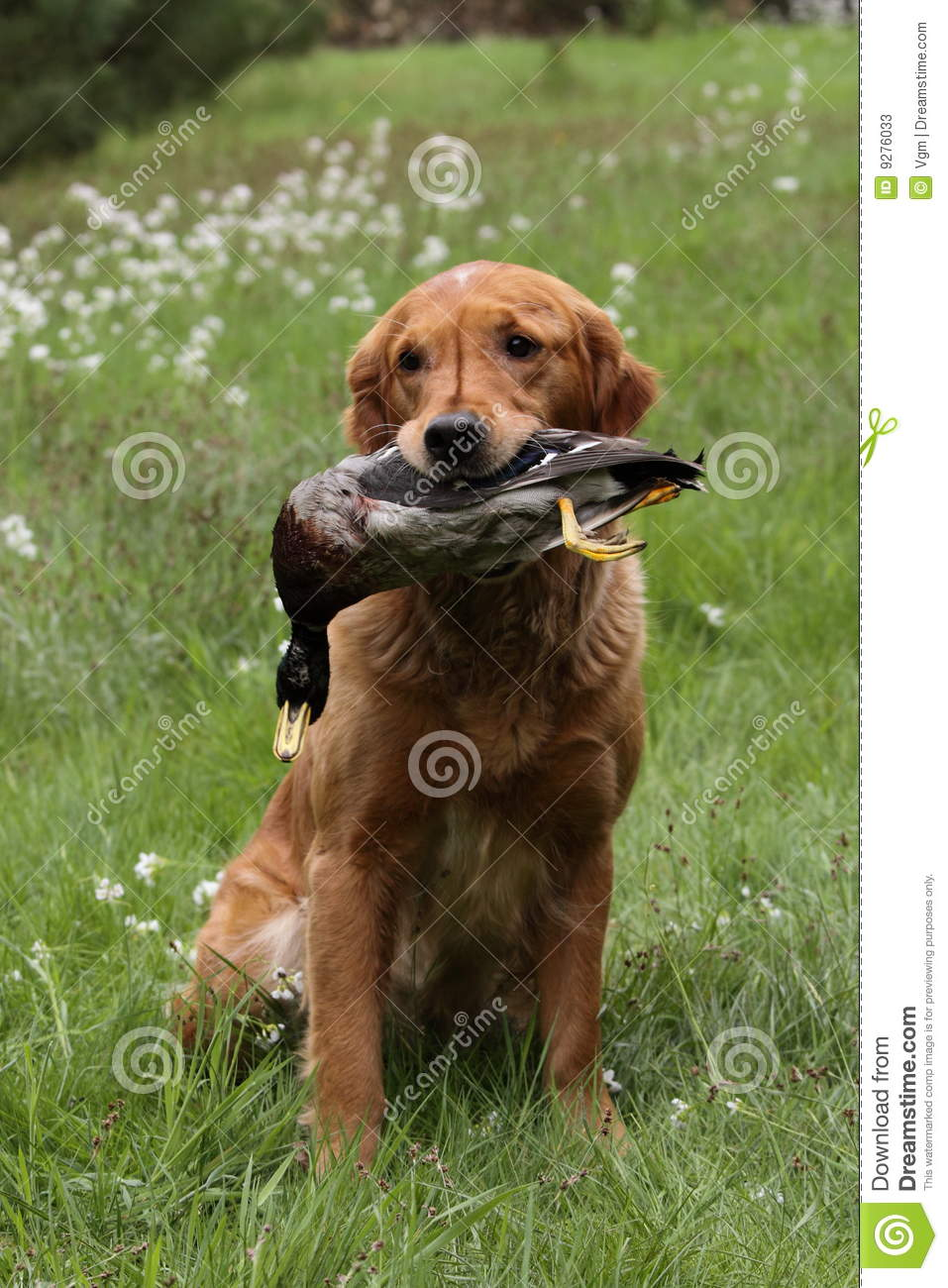 Golden Retriever Hunting Stock Photos - Image: 9276033