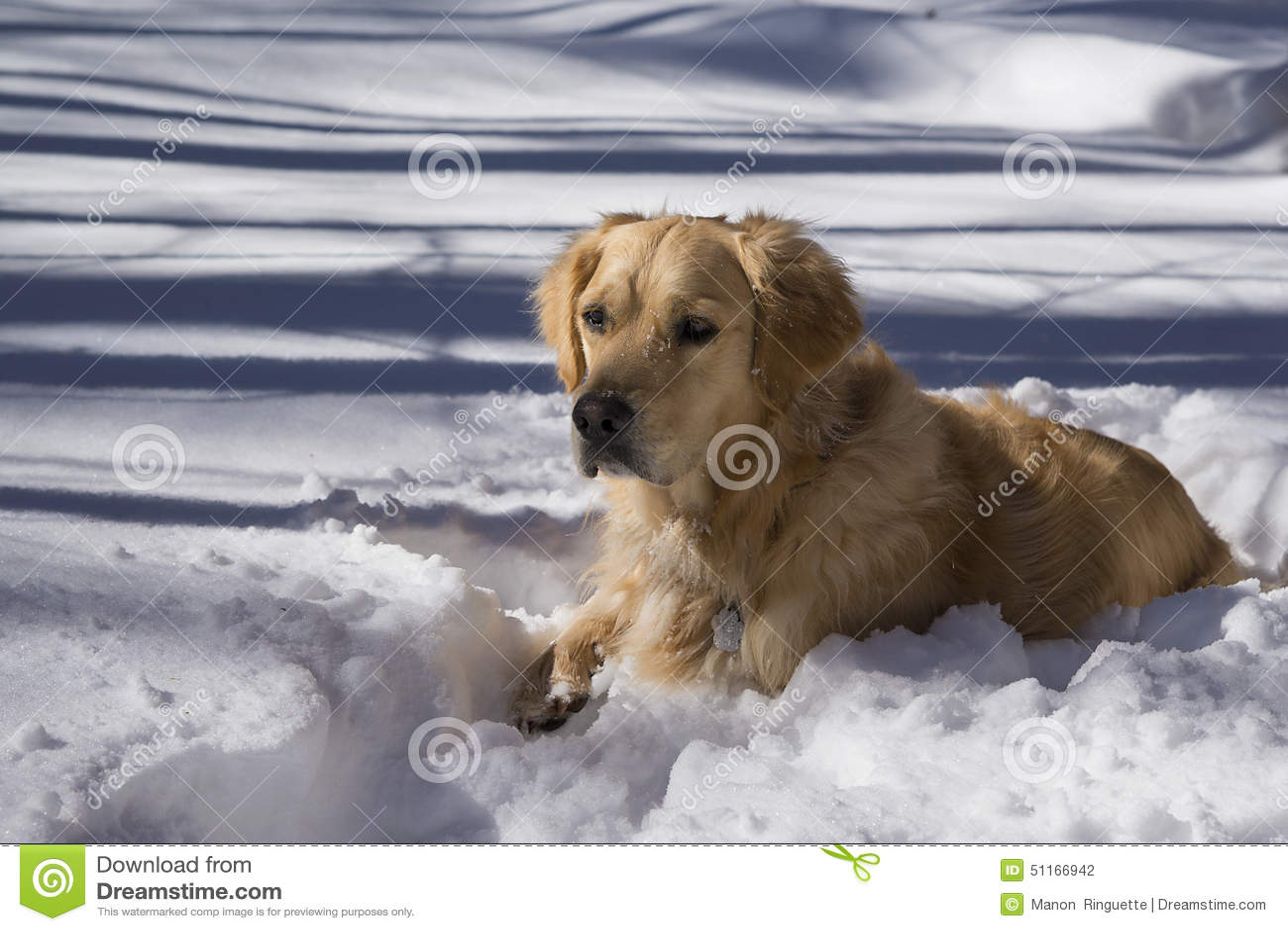 Golden retriever i snö