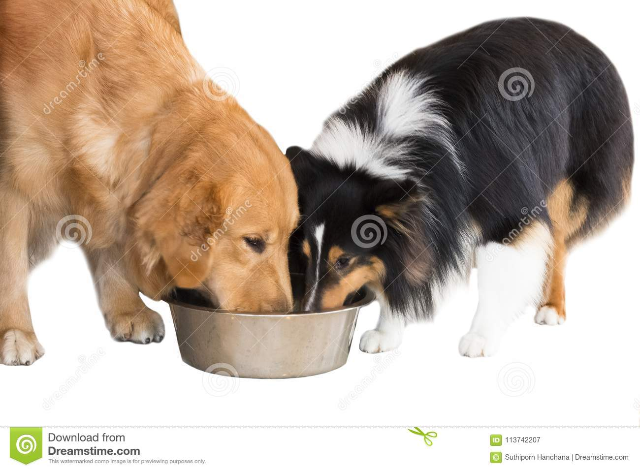 Golden Retriever isolate and Shetland Sheepdog on white background,Clipping path