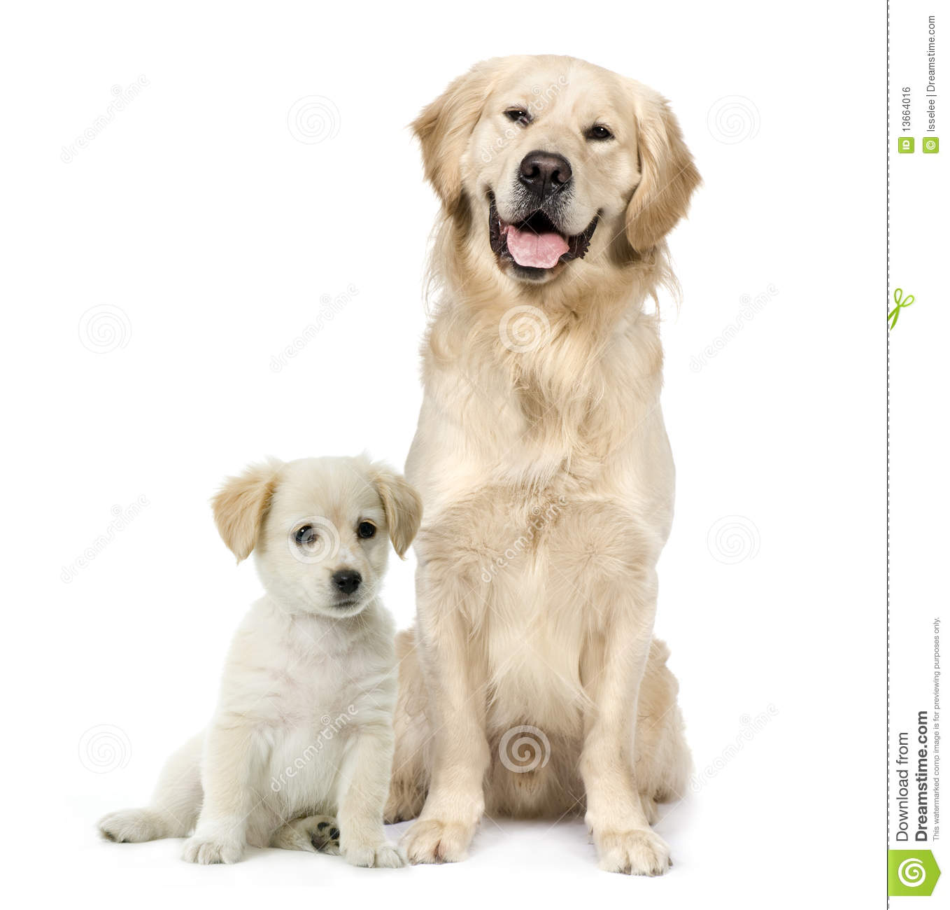Golden Retriever And A Labrador Puppy Sitting Stock Photo Image Of