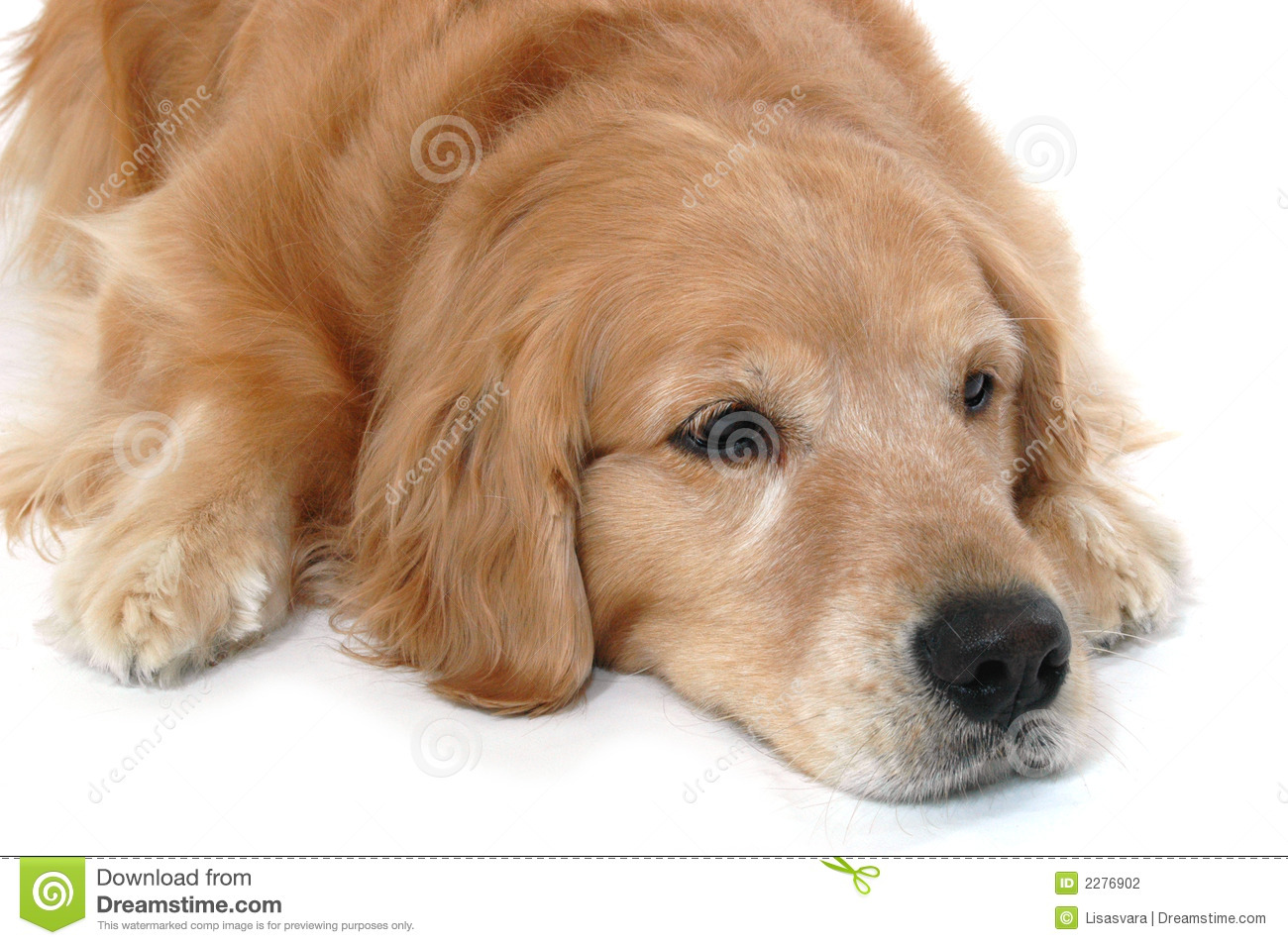 Golden Retriever Laying Stock Photography - Image: 2276902
