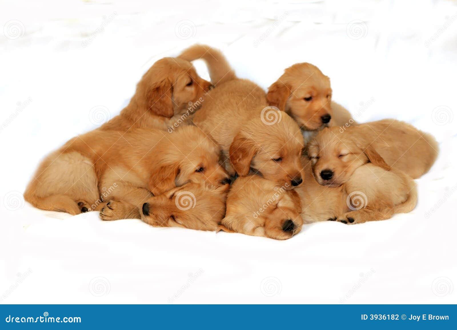 Golden Retriever Litter Stock Photography - Image: 3936182