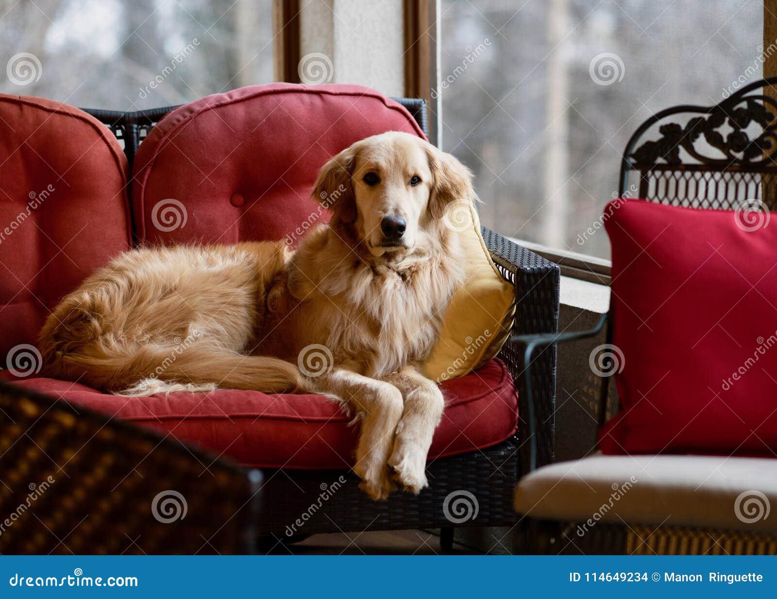 Golden Retriever na Czerwonej kanapie