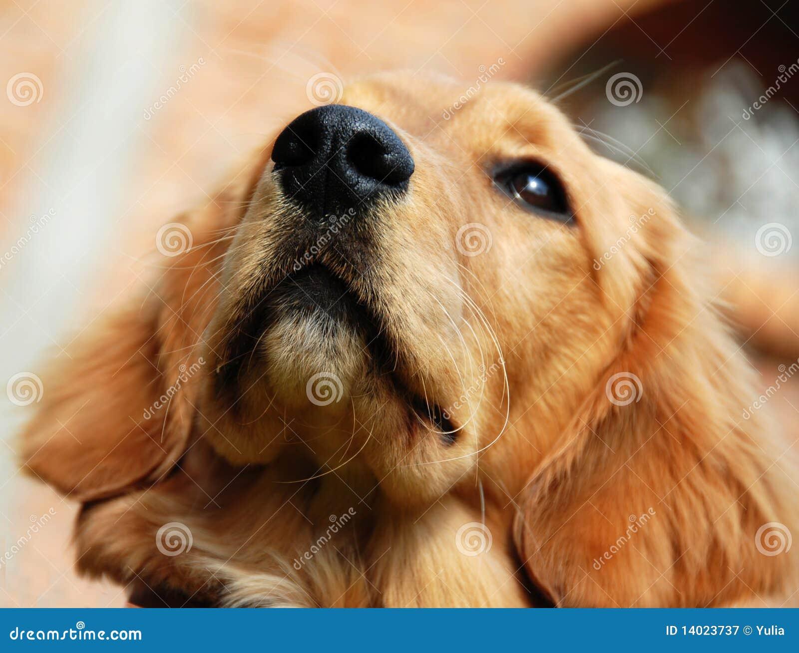 Golden Retriever Nose Stock Image Image Of Loyal Hunter 14023737
