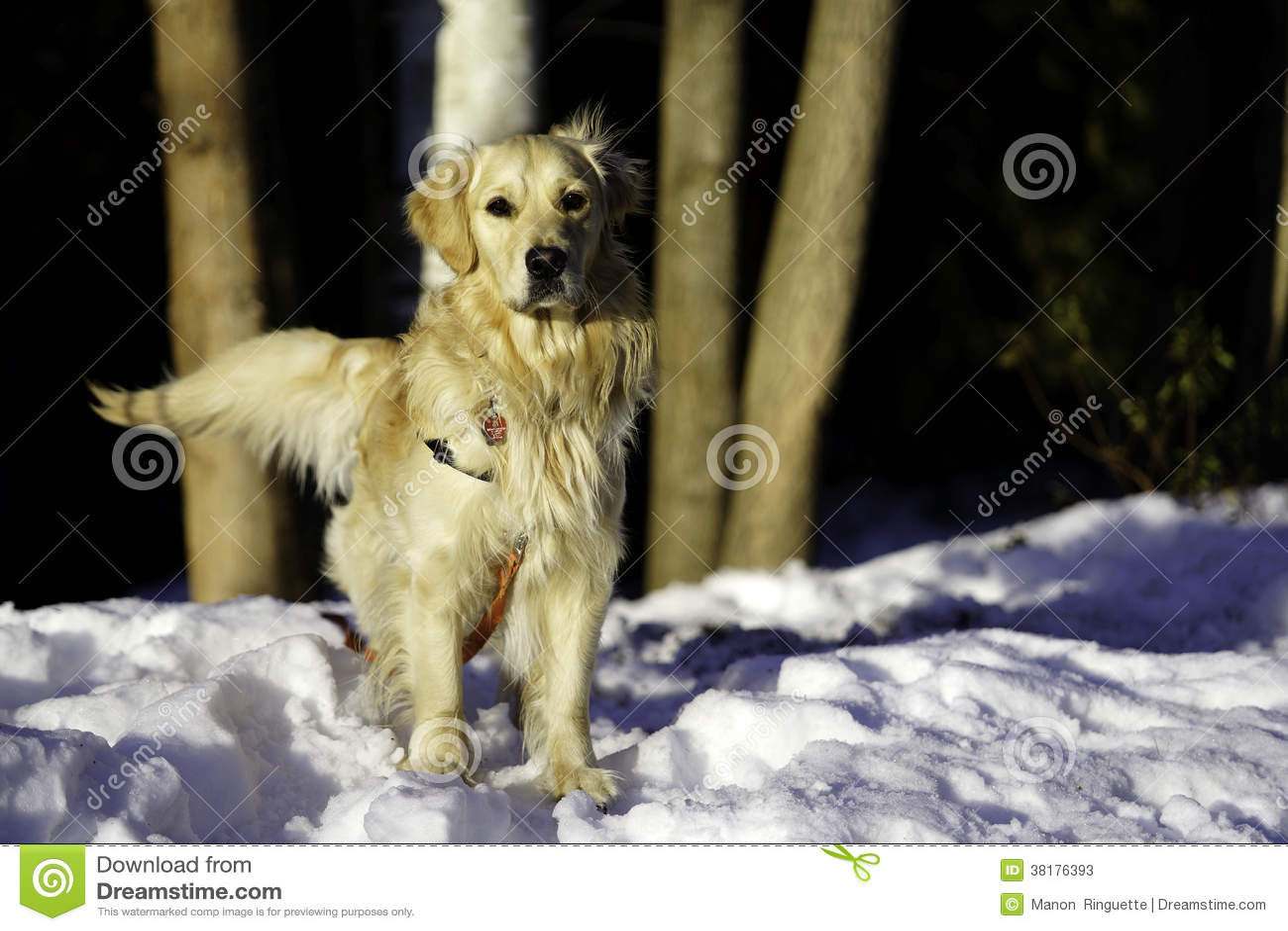 Golden Retriever Outdoors zima