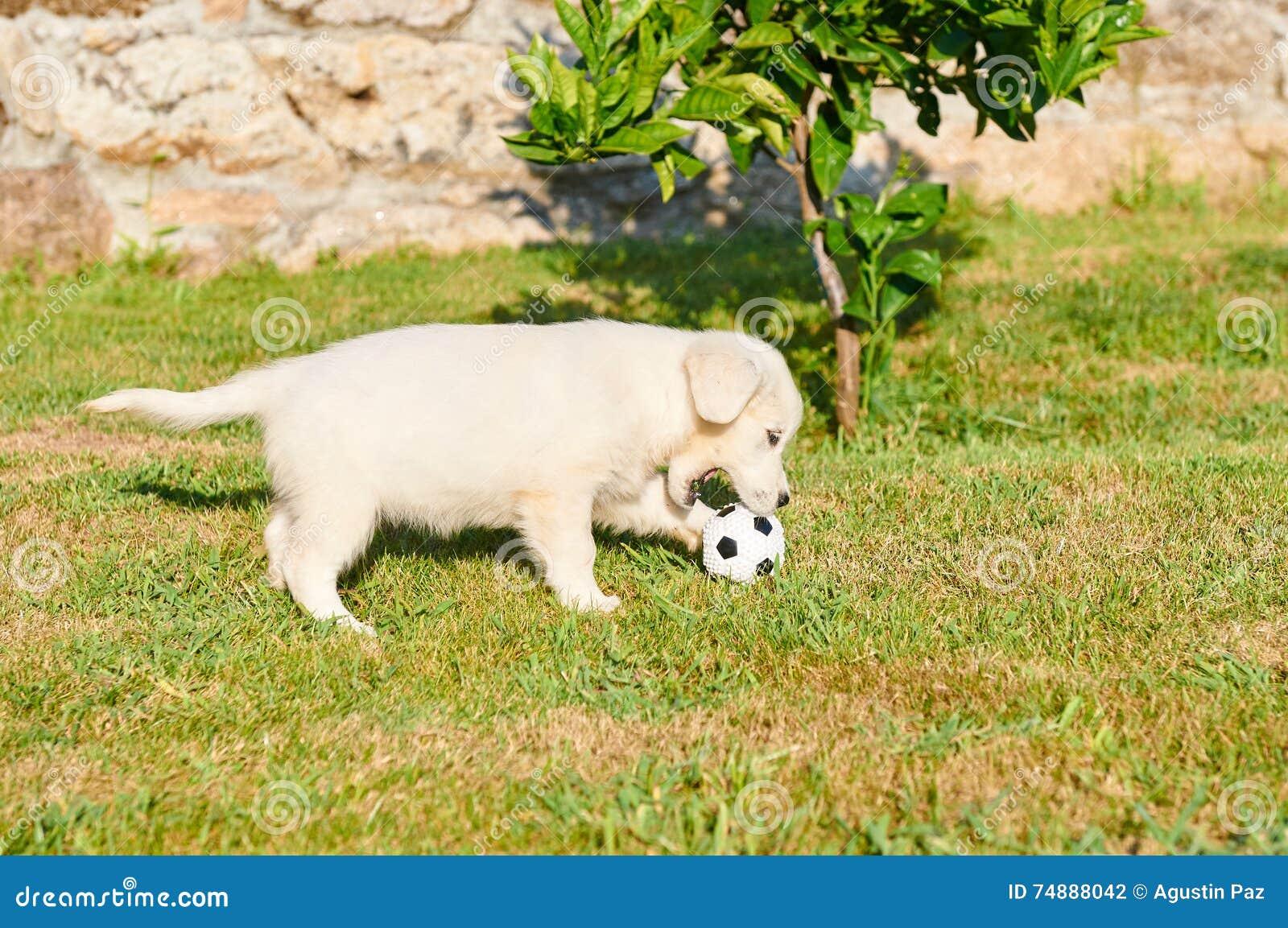 Golden retriever pequeno que joga com uma bola