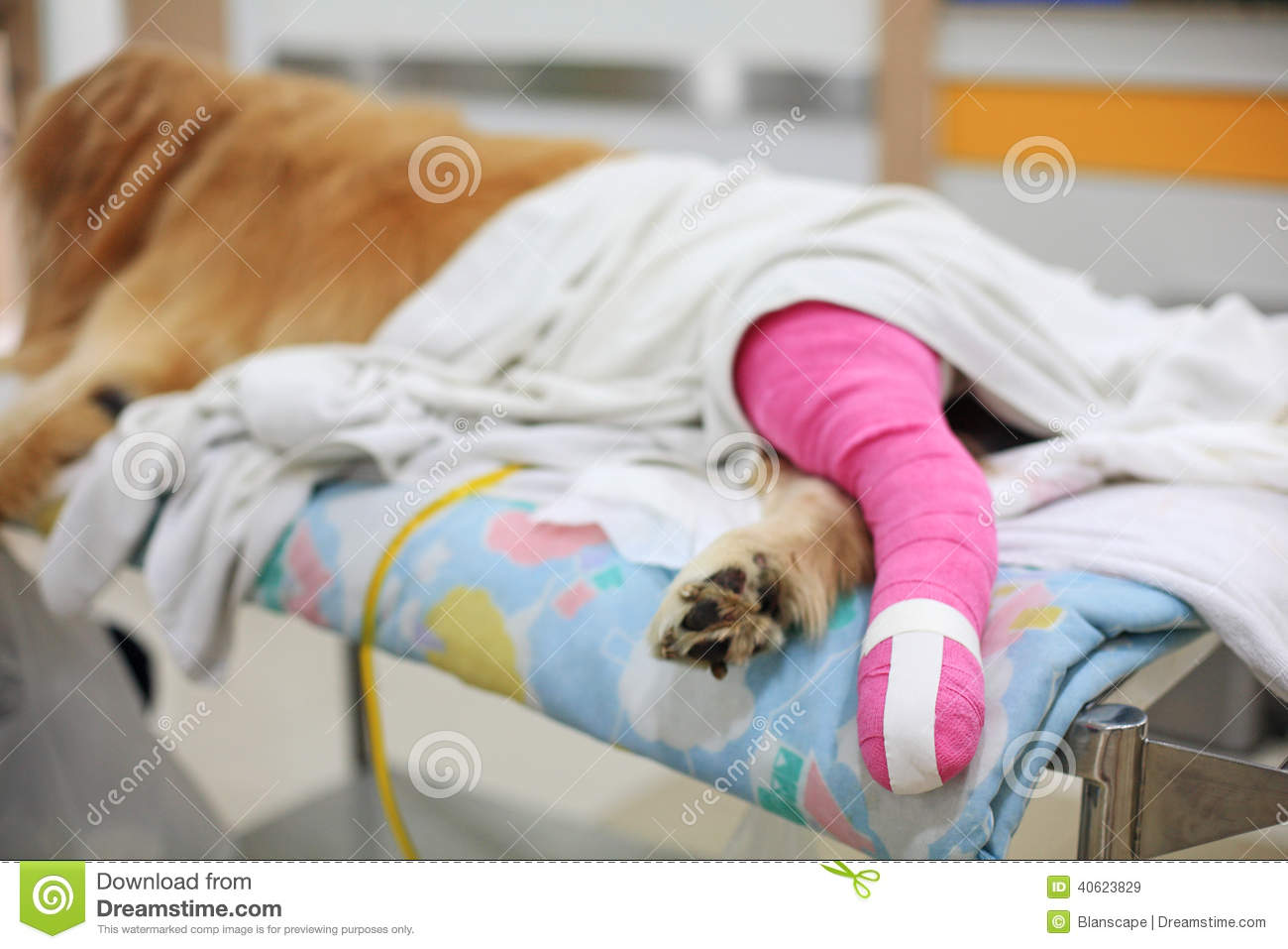 Golden retriever with pink bandage After Veterinary Surgery