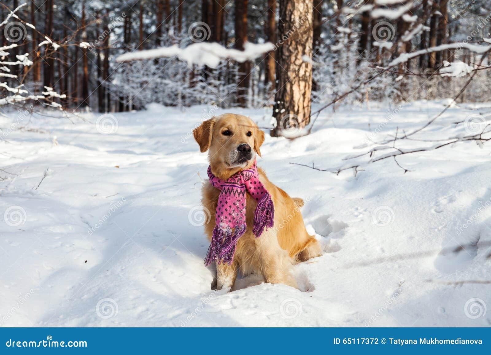 Golden Retriever in a pink scarf running through the snow