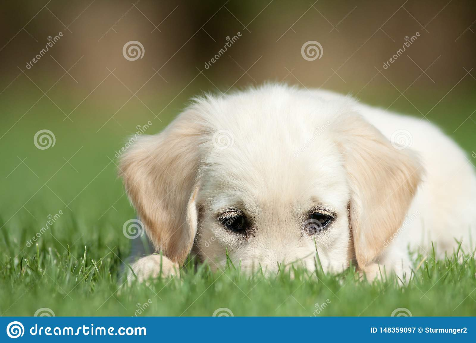 Golden retriever pup hides his nose  in the grass
